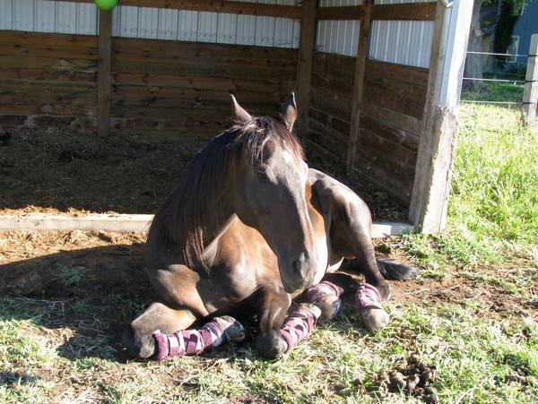 Black horse sunbathing 1