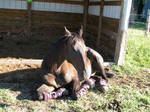 Black horse sunbathing 1