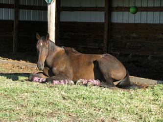 Black horse sunbathing 3