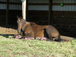 Black horse sunbathing 3