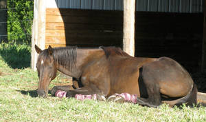 Black horse sunbathing 2