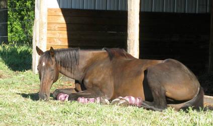Black horse sunbathing 2