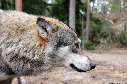 Profile of a Wolf