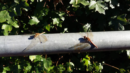 Dragonflies by Tysharina