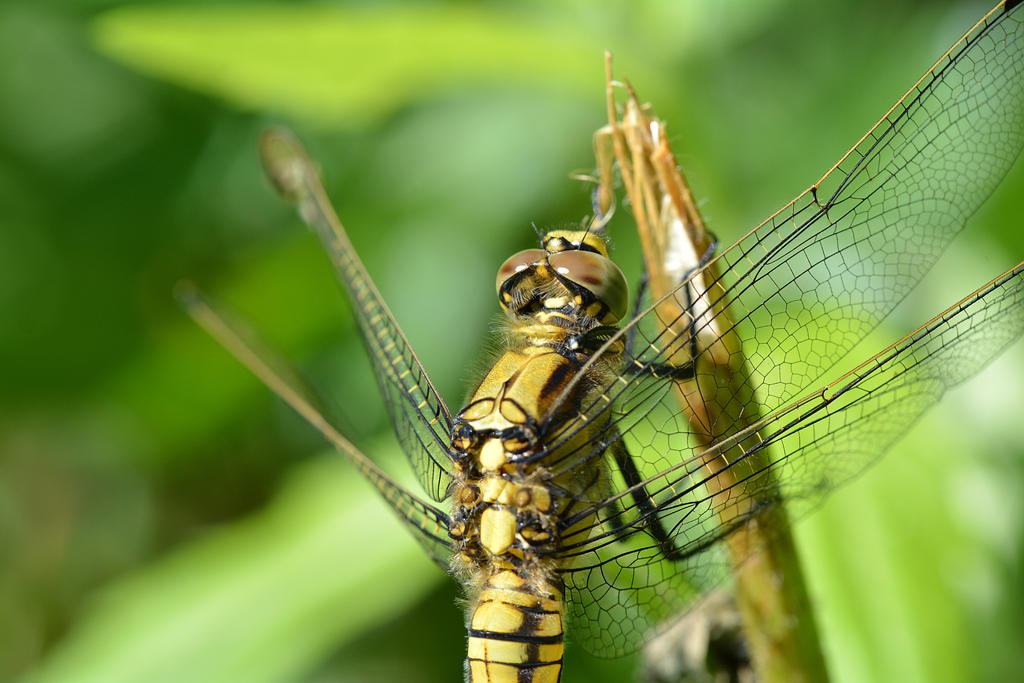 Dragonfly Macro by B