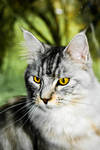 Elvis, the main coon