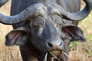 African buffalo I by DeviantTeddine
