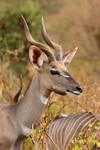 Lesser Kudu by DeviantTeddine