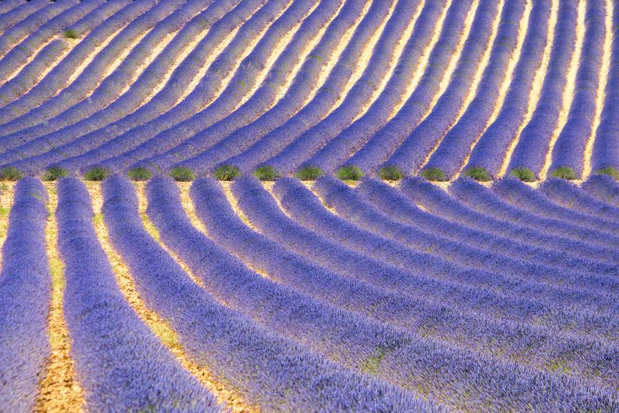 Lavender Craze II