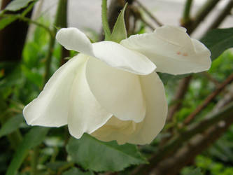 White Rose by Gwathiell