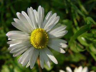 Daisy by Gwathiell