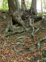 Autumn08 02 Lost in roots by Gwathiell