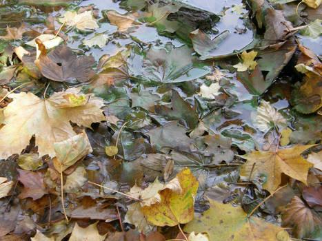Autumn08 07 Wet leaves