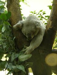Koala I by Gwathiell