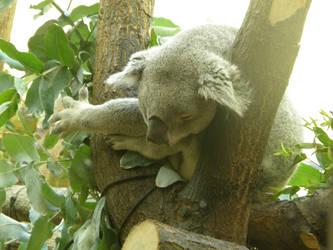 Koala II by Gwathiell