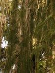 Arboretum - Conifer