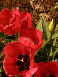 Arboretum - Red tulip by Gwathiell