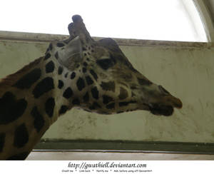 Zoo - Giraffe profile