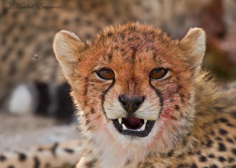 Satisfied Cheetah Cub by MorkelErasmus
