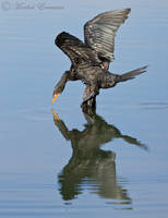 Cormorant Reflections by MorkelErasmus