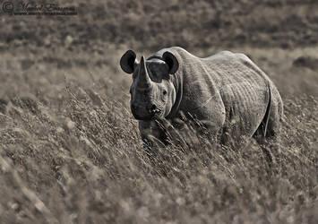 The Black Rhino by MorkelErasmus