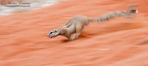 Ground Squirrel Rocket by MorkelErasmus