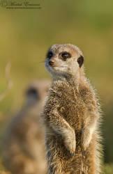Meerkat Sentry by MorkelErasmus