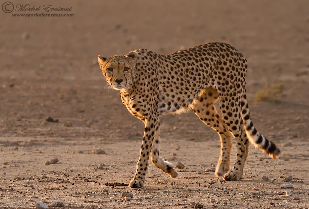 Cheetah Dawn Patrol by MorkelErasmus