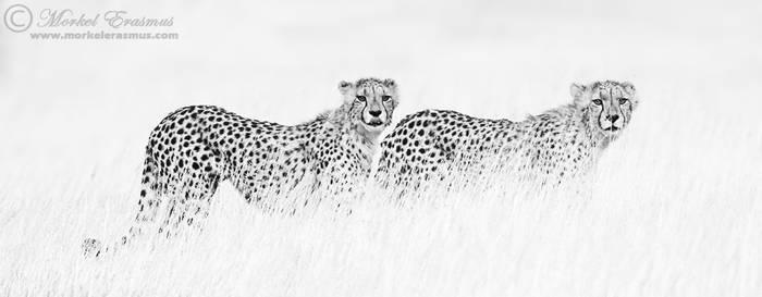Cheetahs in Monochrome