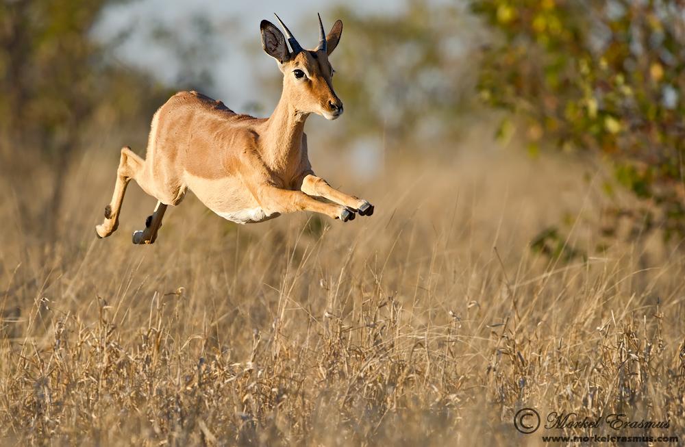 impala animal jumping - 900×536