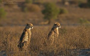 Kalahari Sentries by MorkelErasmus
