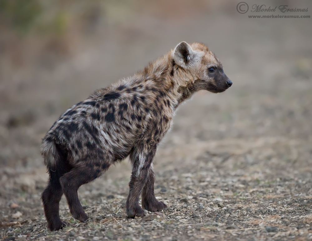 Spotted Hyena Cub by MorkelErasmus