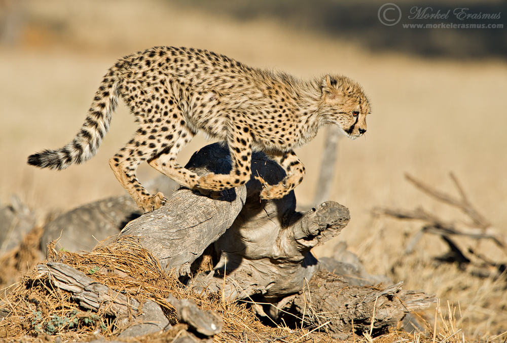 Cheetah Hurdles by MorkelErasmus