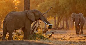 Elephants of Mana Pools