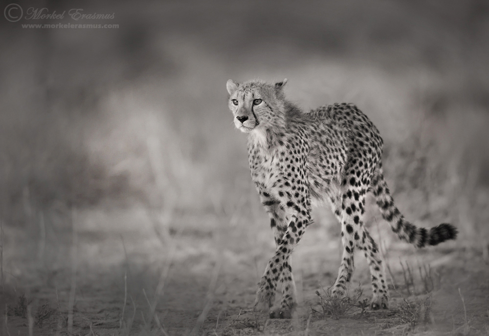 Hunter's Gait by MorkelErasmus