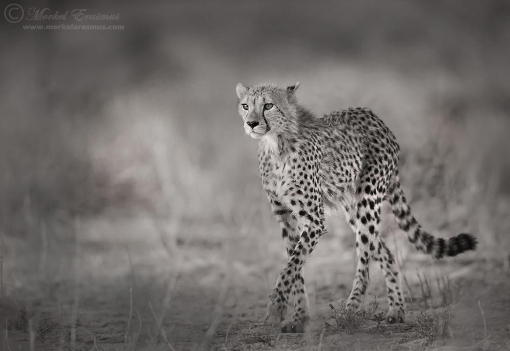 Hunter's Gait by MorkelErasmus