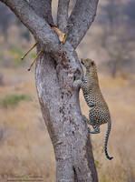 Leopard Ascent