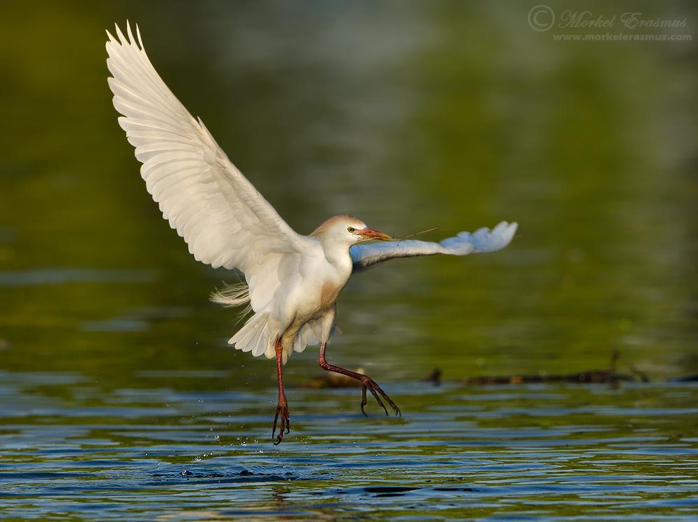 Cattle Egret by MorkelErasmus