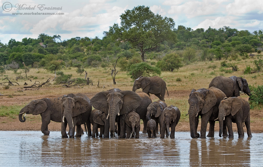 The Thirsty Herd by MorkelErasmus