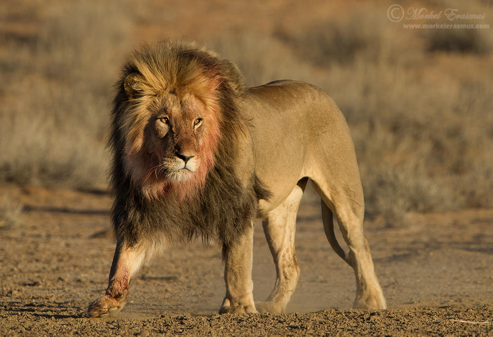 King Of The Kalahari By MorkelErasmus On DeviantArt