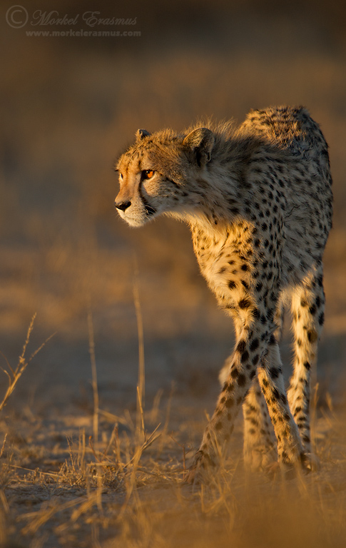 Cheetah Stalk by MorkelErasmus