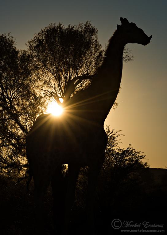 Giraffe Sunset by MorkelErasmus