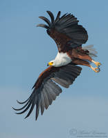 Flight of the Fish Eagle