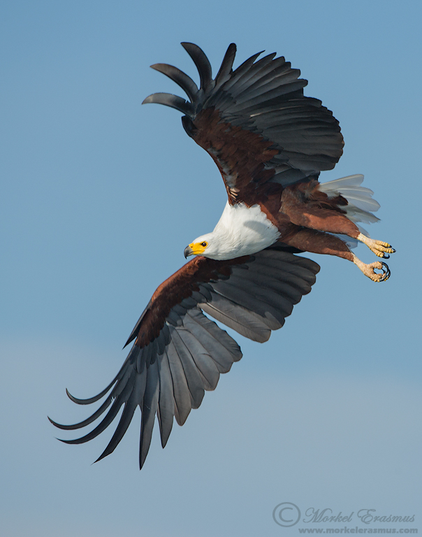 Flight of the Fish Eagle by MorkelErasmus