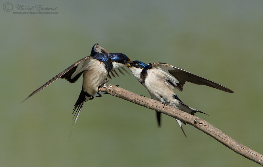 Swallow this Kiss by MorkelErasmus