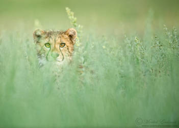 Curious Cheetah Cub by MorkelErasmus