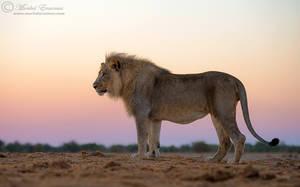Pastel Lion