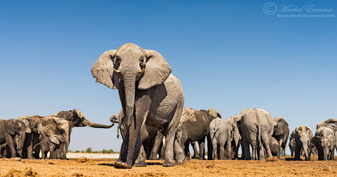 Among the Herd by MorkelErasmus