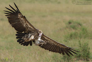 Incoming Griffon by MorkelErasmus
