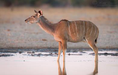 Thirst of a Kudu by MorkelErasmus